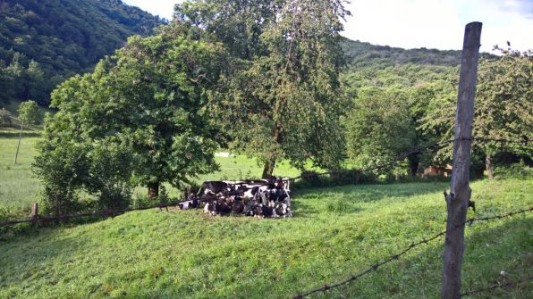 Mucche si scaldano a Nistisino