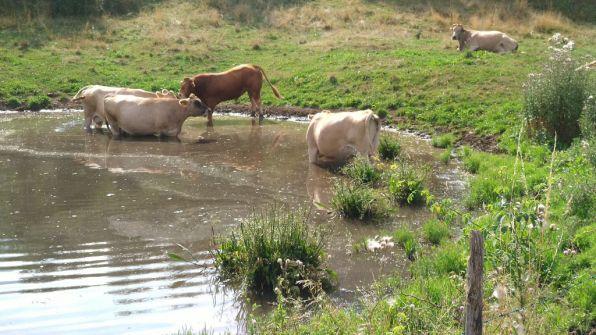 Mucche al fresco a Prada Alta