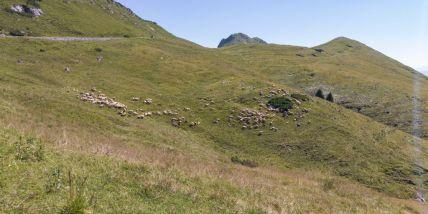 Pascolo di pecore al Tombea